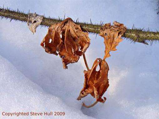 Old leaves in winter